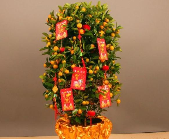 这是过年最必不可少的应节植物之一,好灿灿的小金桔挂满枝头,如同金